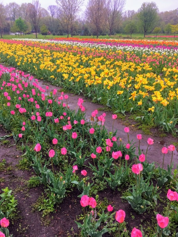 The giant field of tulips on Windmill Island, Holland, Michigan.