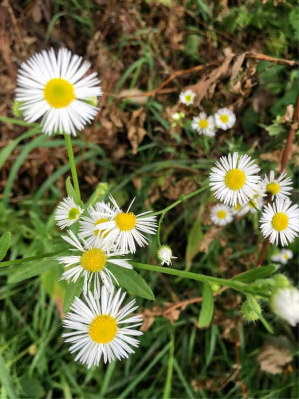 Daisy-type wildflower in Chain O' Lakes State Park, Indiana.