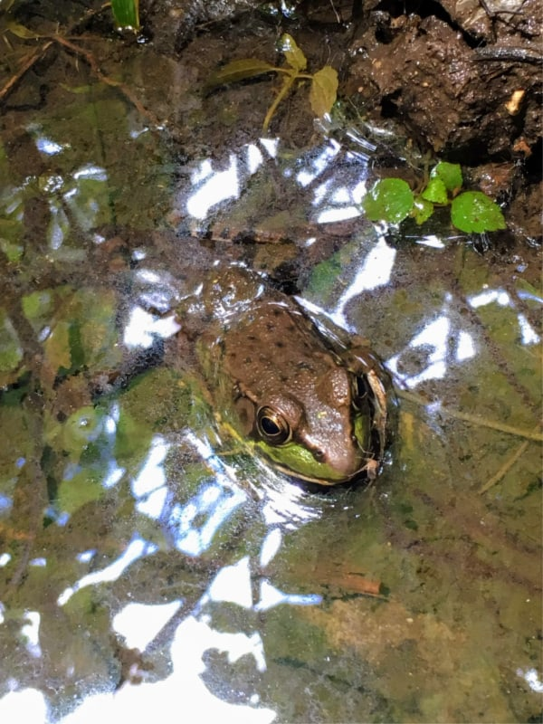 Frog on trail in Chain O' Lakes State Park, Indiana.