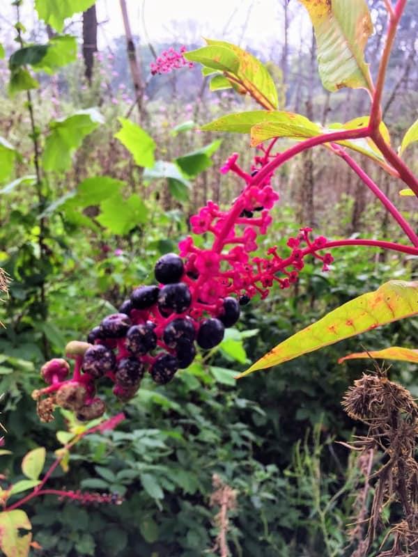 Wild berries on Blue Heron trail, Mississinewa, Indiana.